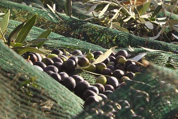Prodotti della azienda Azienda Agricola Olio Lo Scoglio - Gallery foto e video