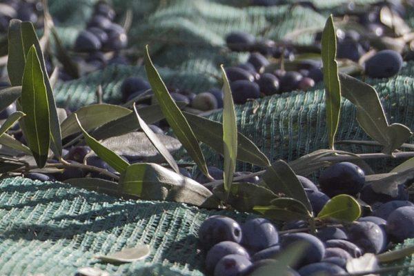 olive moraiolo