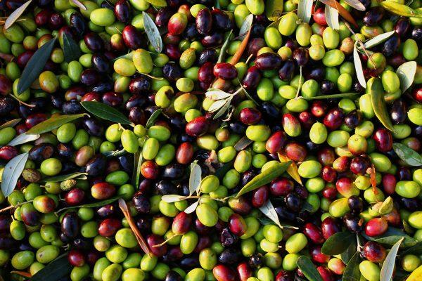 olive-raccolta-olio-extravergine-spello