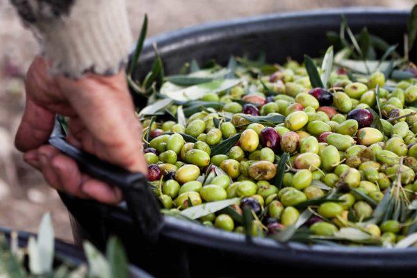 raccolta-olive-umbre